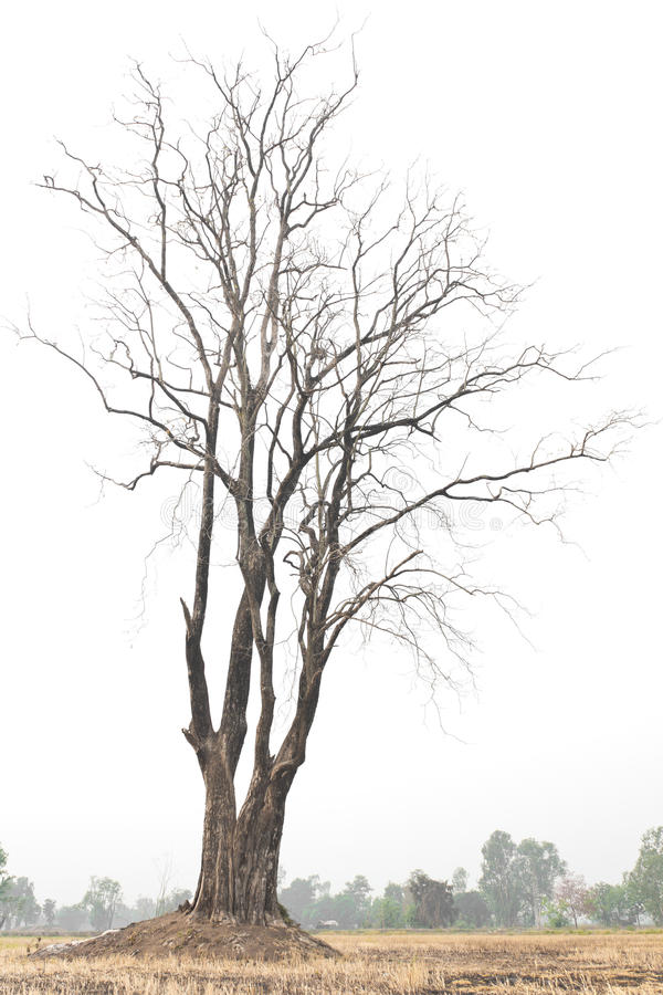 Lonely dead tree. royalty free stock image