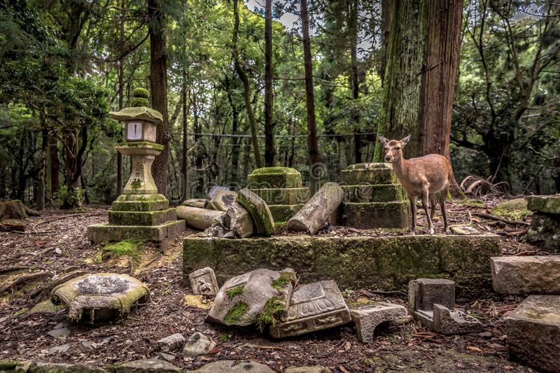 A lonely deer roaming in a temple surrounded by a florest in Nara in Japan royalty free stock photos