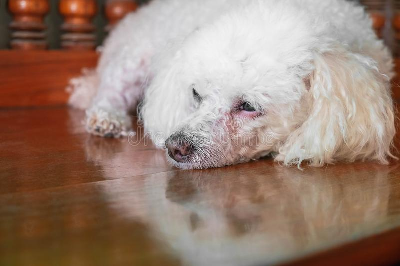 Lonely dog poodle stock photography