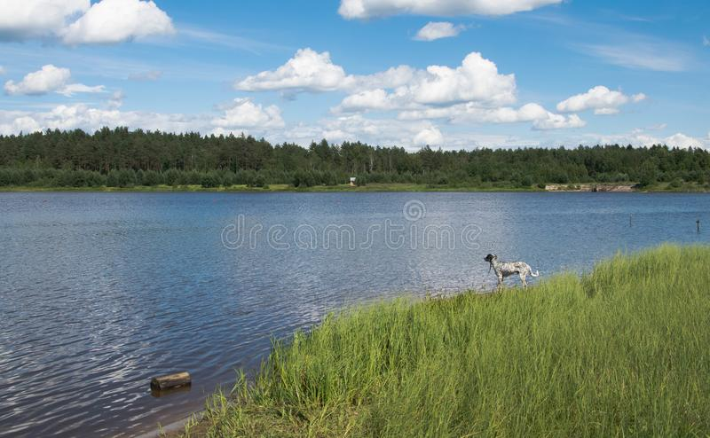 A lonely dog on a forest lake. royalty free stock photos