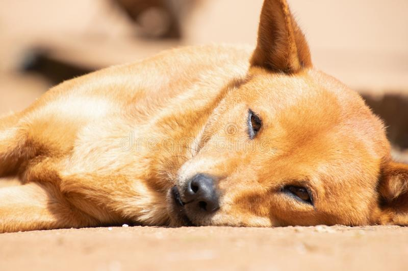 Lonely dog lying on the ground.Poor hungry homeless dog on the roadside.pet health and royalty free stock photography