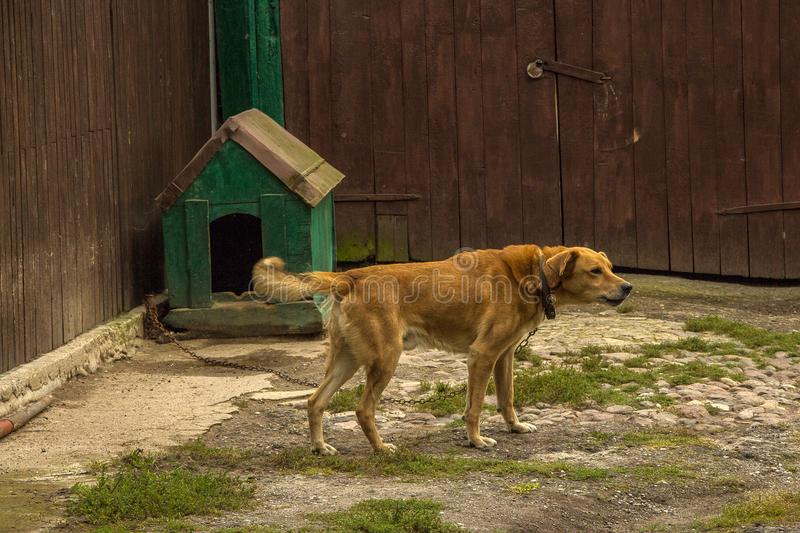 Lonely dog. Dog outside. Guard dog, tied near the farm that he defend. Lonely dog watching out of his kennel. Scenery in the village. Mixed breed dog in the stock images