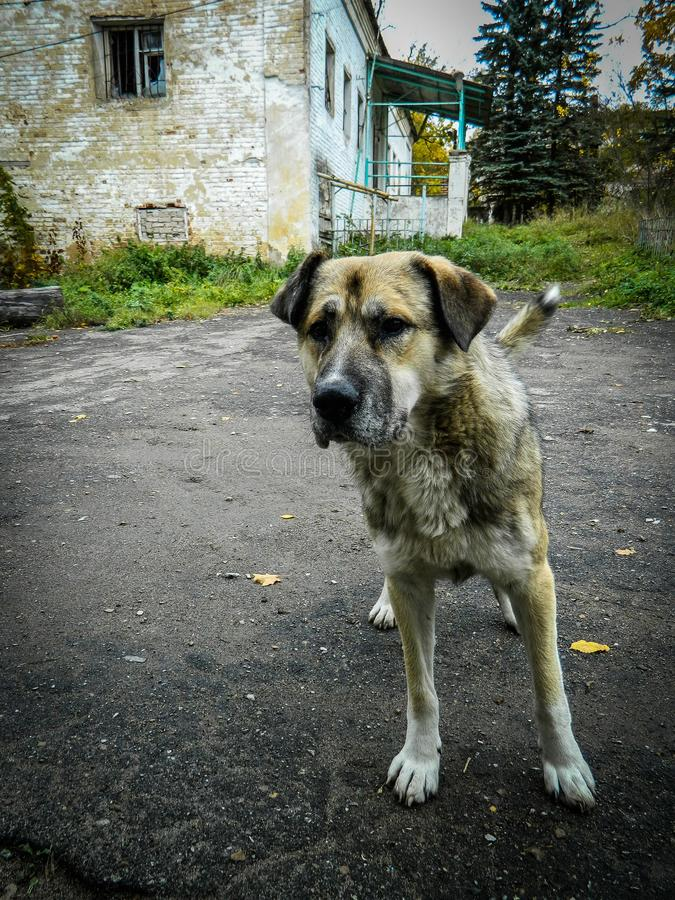 Lonely dog in a Russian village. Abandoned Pets are always sympathetic. This abandoned dog shot in the Kaluga region in the Russian village royalty free stock images