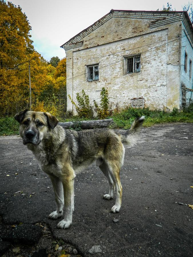 Lonely dog in a Russian village. Abandoned Pets are always sympathetic. This abandoned dog shot in the Kaluga region in the Russian village royalty free stock photo