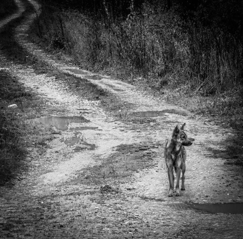 Lonely dog in a Russian village. Abandoned Pets are always sympathetic. This abandoned dog shot in the Kaluga region in the Russian village royalty free stock photos