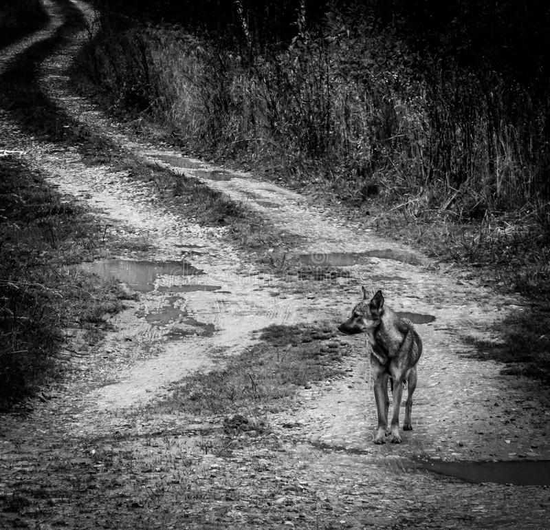 Lonely dog in a Russian village. Abandoned Pets are always sympathetic. This abandoned dog shot in the Kaluga region in the Russian village stock photos