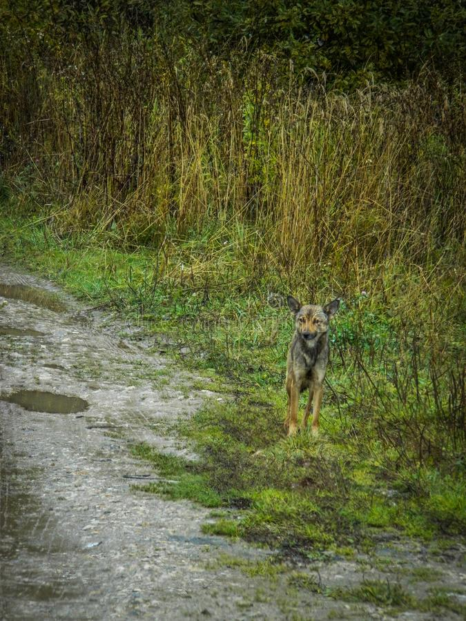 Lonely dog in a Russian village. Abandoned Pets are always sympathetic. This abandoned dog shot in the Kaluga region in the Russian village stock photo
