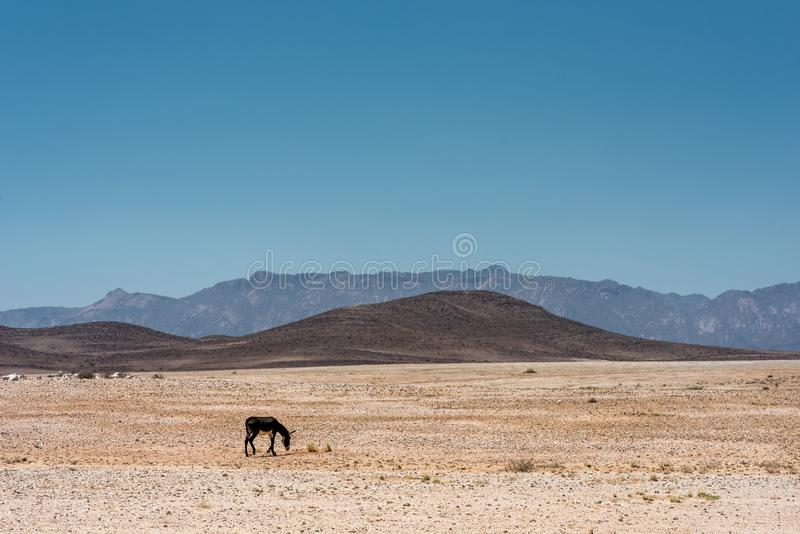 A single donkey grazing in the vast and desolate landscape of Namibia. A lonely donkey grazing in the vast and desolate landscape of Namibia royalty free stock photo