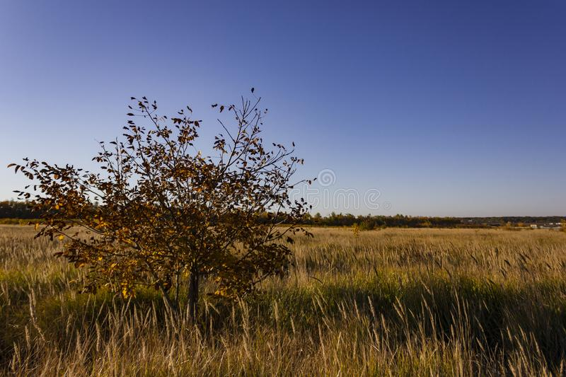 Lonely small withered walnut tree in a yellow meadow stock photos