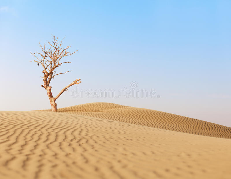 Lonely dry tree in sand desert. Lonely dry big tree in sand desert royalty free stock photo