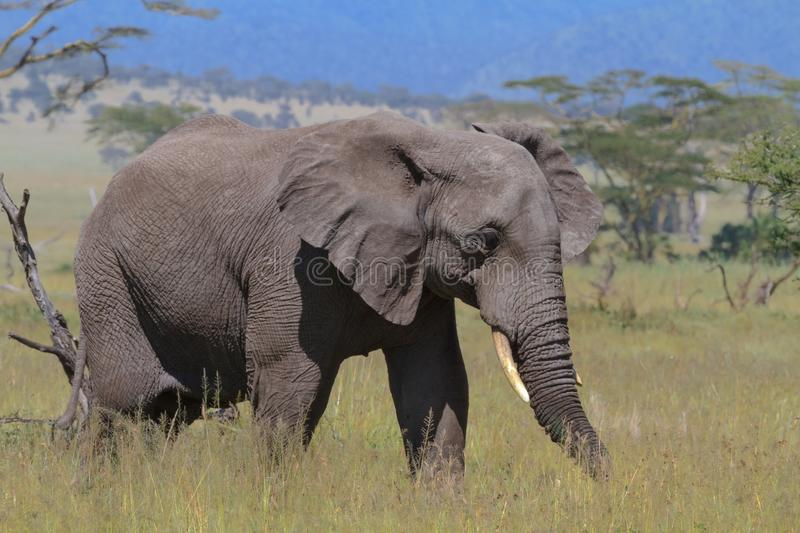 Lonely elephant in savanna of Serengeti. Tanzania, Africa royalty free stock image