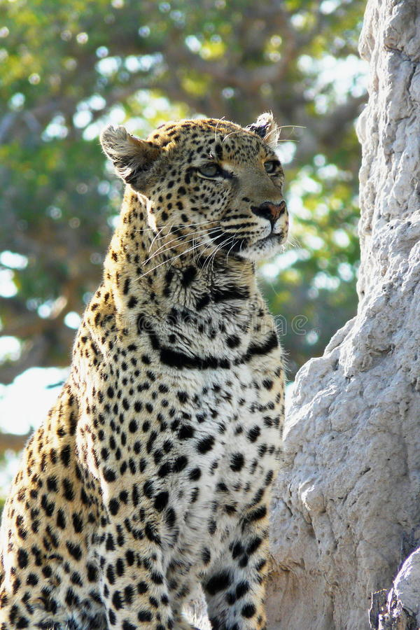 Lonely female leopard waits quiet over a hill looking for her pray in Pom-Pom Island private game reserve, Okavango delta. Lonely female leopard waits quiet stock image