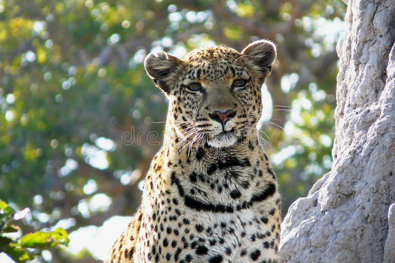 Lonely female leopard waits quiet over a hill looking for her pray in Pom-Pom Island private game reserve, Okavango delta. Lonely female leopard waits quiet stock images