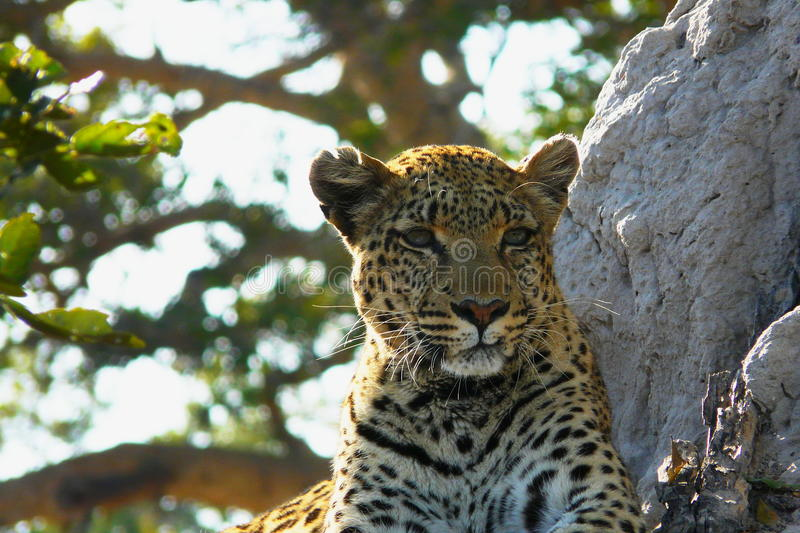 Lonely female leopard waits quiet over a hill looking for her pray in Pom-Pom Island private game reserve, Okavango delta. Lonely female leopard waits quiet stock photo