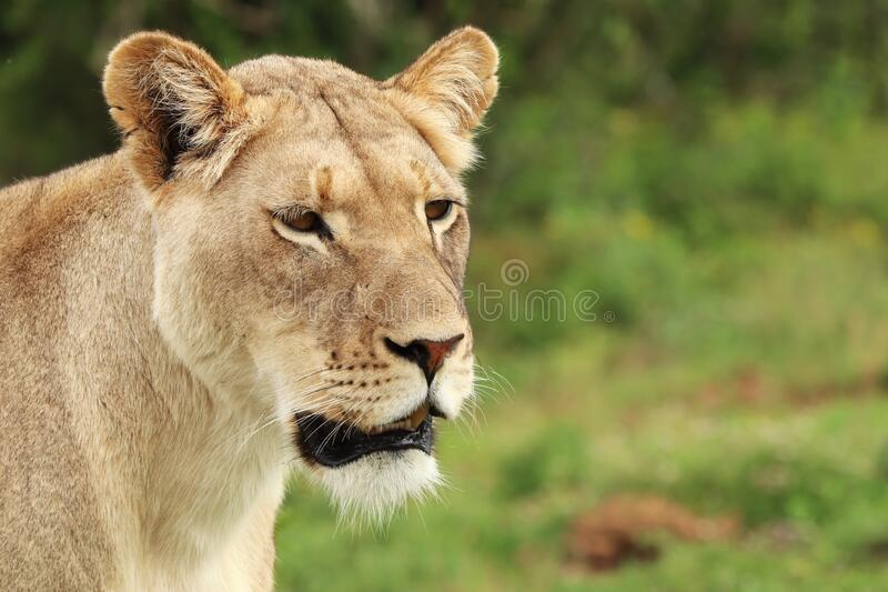 Lonely female lion walking in the Addo elephant national park. A lonely female lion walking in the Addo elephant national park royalty free stock photography