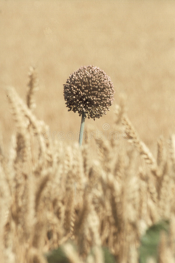 Free Lonely Flower Stock Photography - 240862