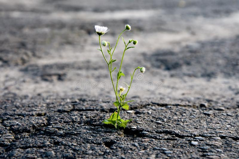 A lonely flower makes its way through the city asphalt, craving for the sun and the power of plant life stock photos