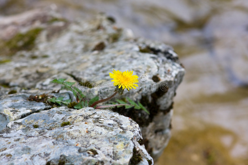 Lonely flower on a rock stock image