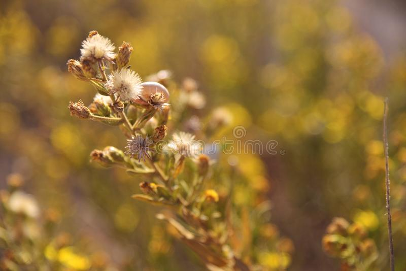 Lonely focused snail in a branch of yellow flowers. royalty free stock image