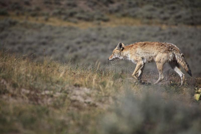 a Coyote is walking stock photography