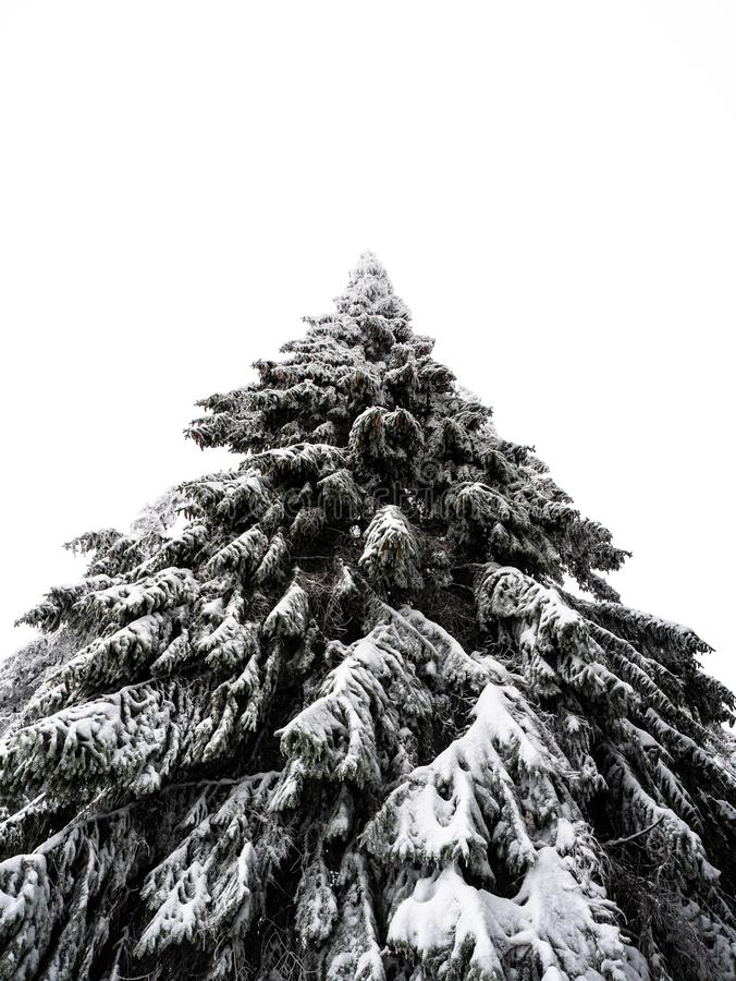Lonely and frozen pine tree royalty free stock photo