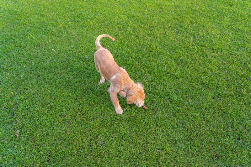 Little golden puppy wandering on green grass in park stock images
