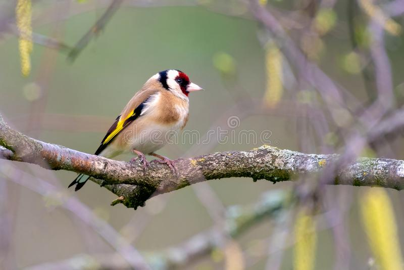 Lonely goldfinch resting on a branch. Lonely goldfinch resting on a birch branch in early spring