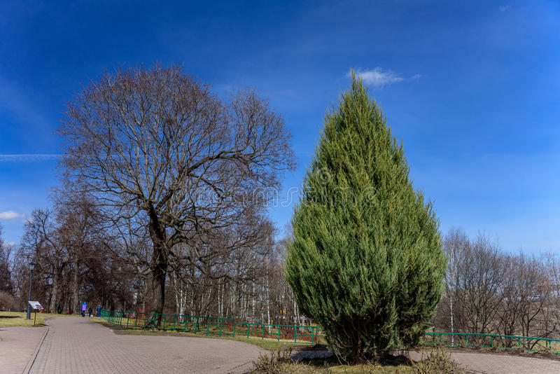 Lonely green thuja on the background of the spring bare trees without any leaves and blue clear sky in park Kolomenskoye. Former royal estate, Moscow, Russia stock image