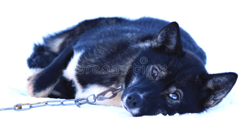 Lonely Husky royalty free stock image