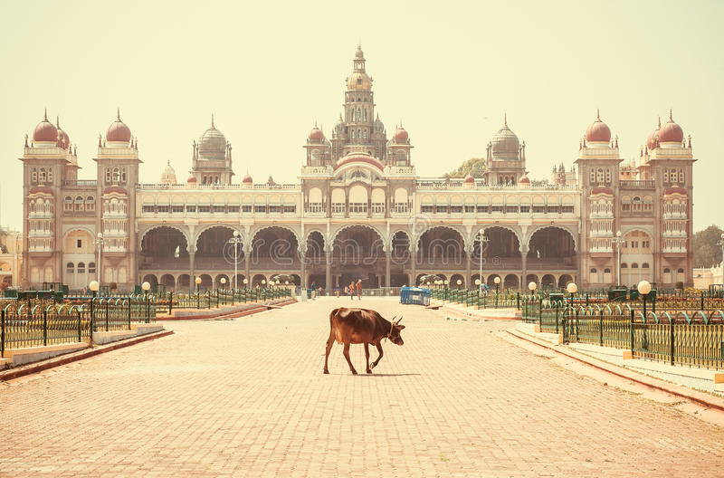 Lonely indian cow walking past famous building of the royal Palace of Mysore in Indo-Saracenic style, India. Lonely indian cow walking past famous building of stock photo
