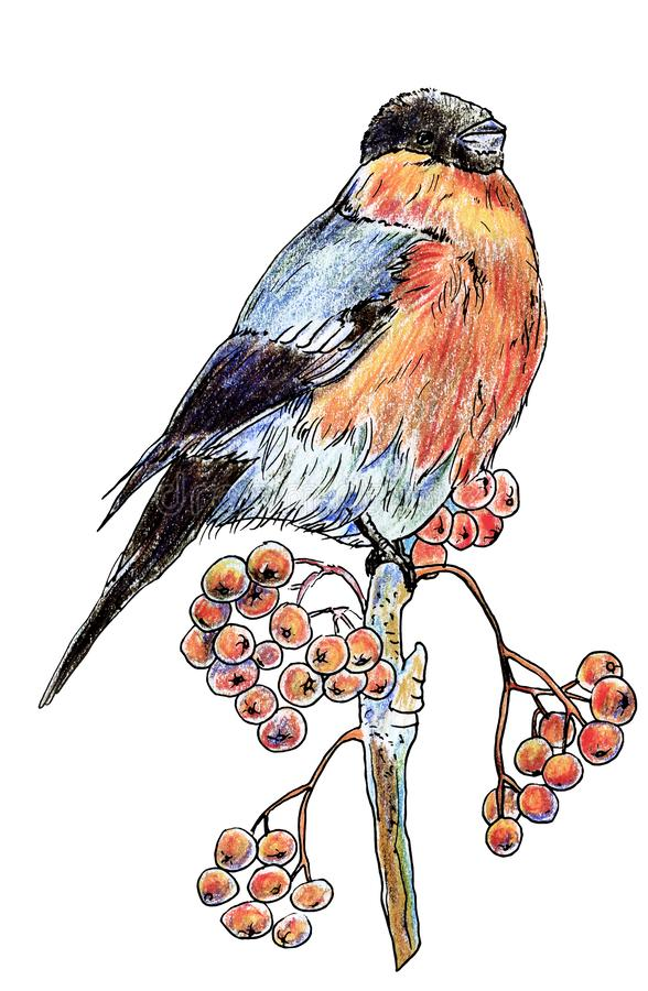 Lonely isolated bird bullfinch with black head and red-bellied winter sitting on a branch with berries of mountain ash, drawn with vector illustration