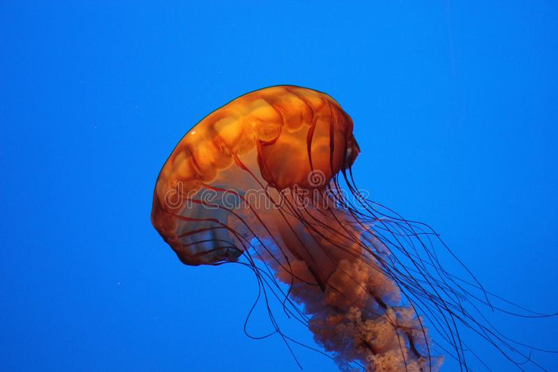 Lonely Jelly Fish Propelling Upward royalty free stock images