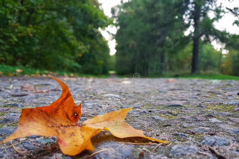 Lonely leaf. Autumn in a country park where silence reigns. fall nature tree wood leaf outdoors season park environment flora landscape beautiful maple garden stock photography