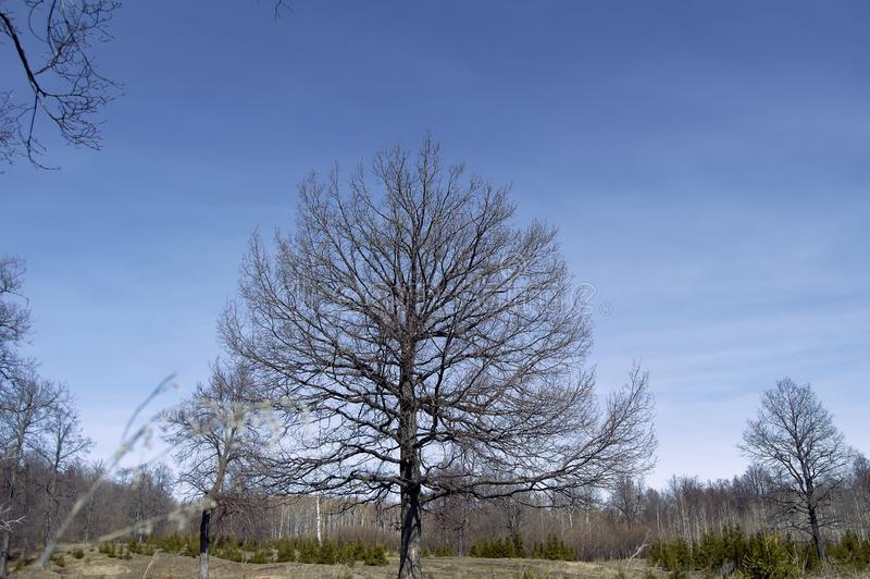 Lonely leafless tree without leaves on a background of blue sky and forest in early spring stock photography
