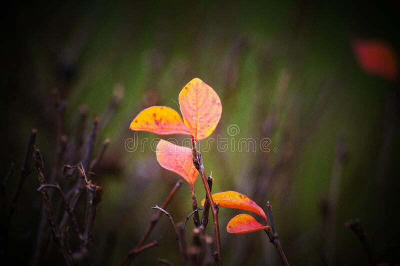 Lonely leaves against the background of young branches, illuminated by the morning sun royalty free stock photography