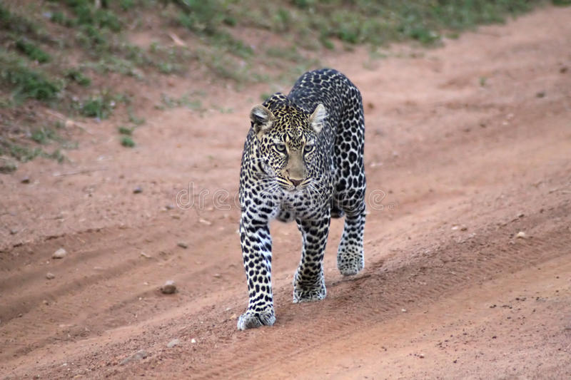 Lonely Leopard stock images