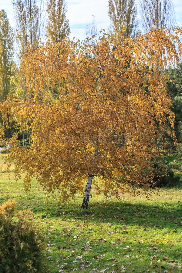 Lonely little birch with yellow leaves on a sunny day in early autumn.  stock photography
