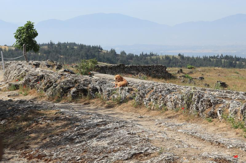 Lonely little dog in the mountains. Lonely little dog in the Turkish mountains and red poppy flowers royalty free stock photography