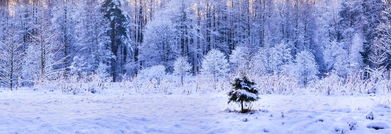 Lonely little fir-tree on winter forest background royalty free stock photo