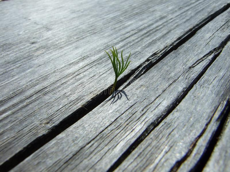 A lonely little plant growing out of a wooden table. In the open stock image