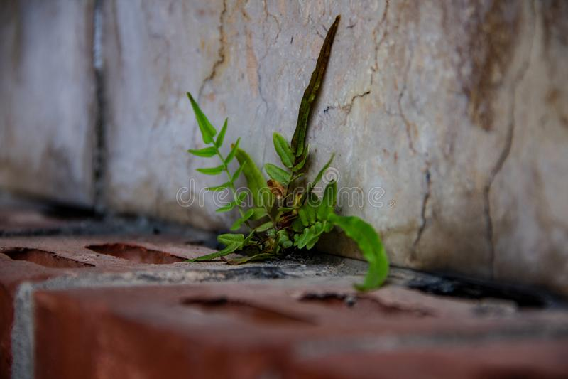 Lonely little strong weed grow on a wall. 27 June 2018 stock photography