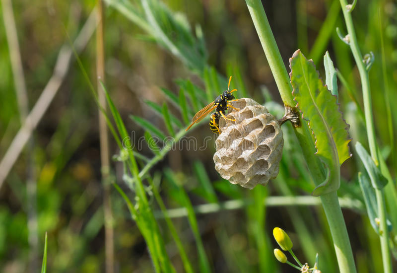 Lonely little wasp is building new home. On a grass stem royalty free stock photography