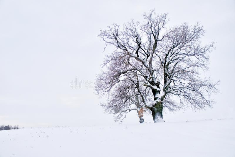 Lonely majestic oak tree in winter stock photo