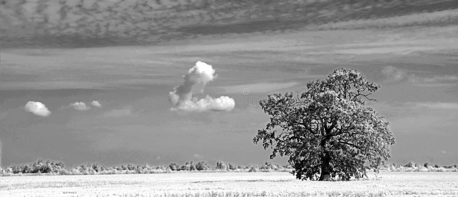 Lonely mighty tree in a field under the sky. Big old oak. royalty free stock photography