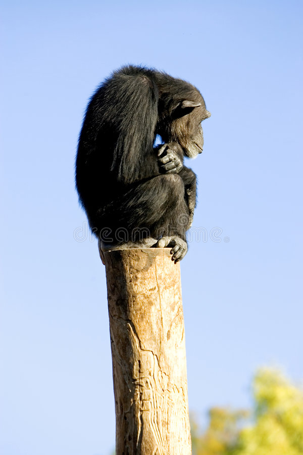 Lonely monkey sitting on top of a large pole royalty free stock photo