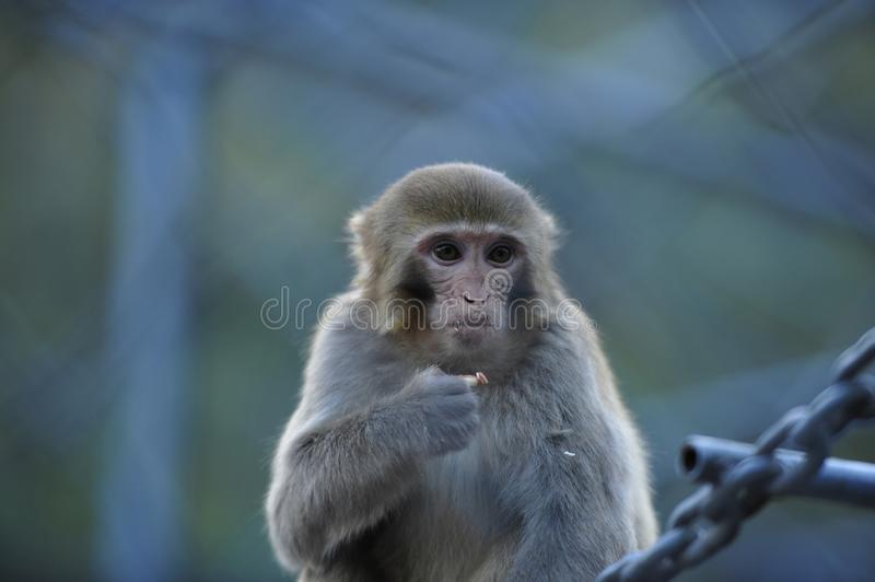 Lonely monkeys royalty free stock image