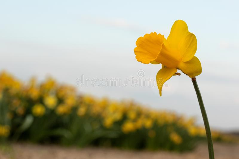 Lonely Narcissus. This is a photo of a lonely Narcissus taken at the flower fields near Lisse in the Netherlands stock photography
