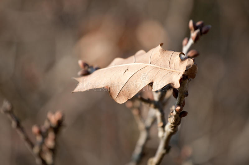 Download Lonely Oak Leaf In Late Autumn Stock Photo - Image: 12284410