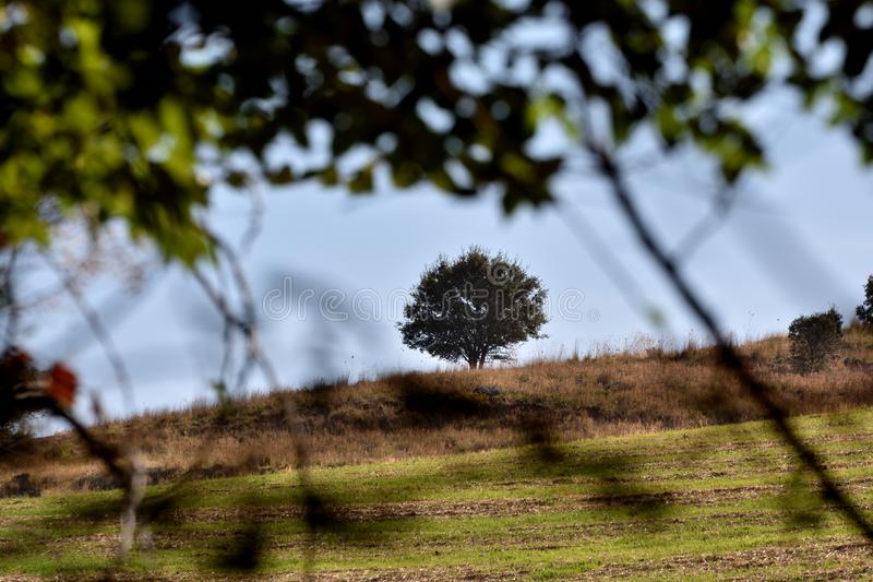 Lonely oak tree on a hill seen through the branches of a tree royalty free stock photo
