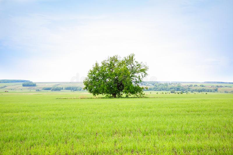 Lonely old oak tree in the field. Tree of wisdom stock photos